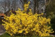 Gardening Tips – how to care for Forsythia